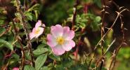 Роза или трън