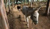 Вола и магарето