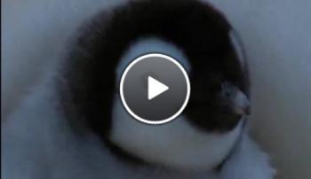 Първите стъпки на малките Пингвини