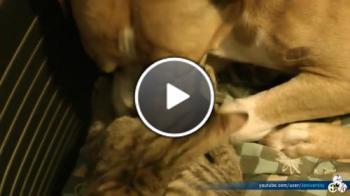 Питбул и едно малко Коте