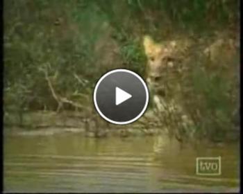 Ето това е истинско приятелство между човек и лъвове