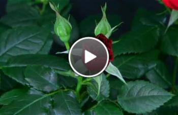 Цъфтене На Рози