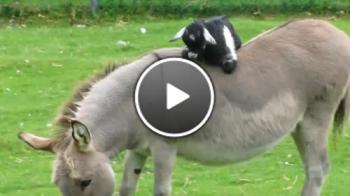 Сладко козле се е качило върху магаре