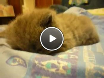 Тази котка си плаче за сън