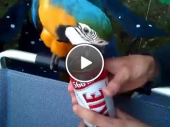 Възпитан папагал отваря кенче бира за стопанинът си!