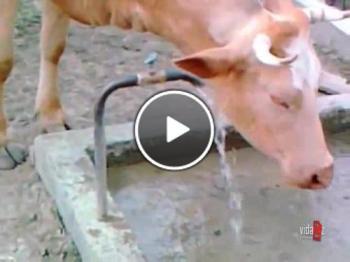 Крава си отваря кранчето за вода