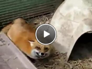 Радостна лисица