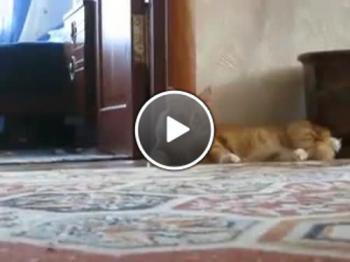 Уплашено коте ходи на 2 крака