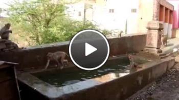 Индийски маймуни скачат в импровизиран басейн
